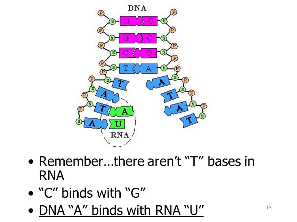 Remember…there aren't T bases in RNA