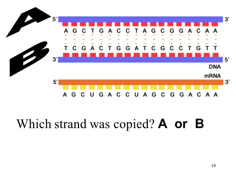 Which strand was copied A or B