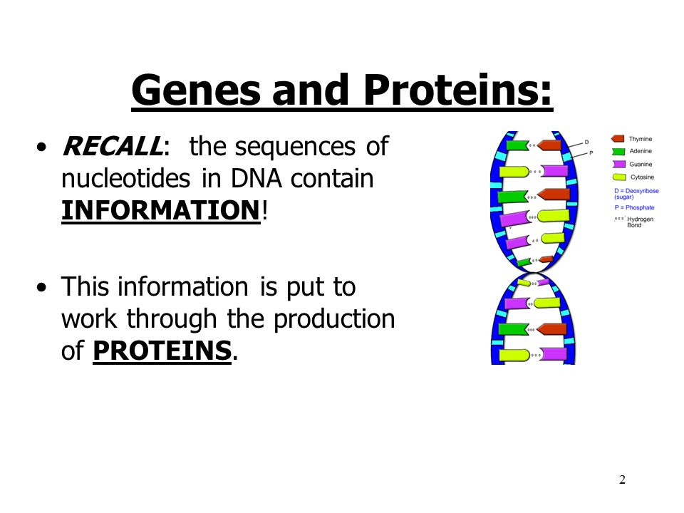 Genes and Proteins: RECALL: the sequences of nucleotides in DNA contain INFORMATION!