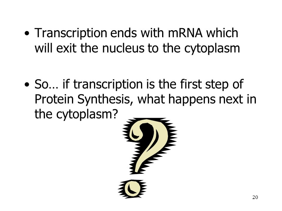 Transcription ends with mRNA which will exit the nucleus to the cytoplasm