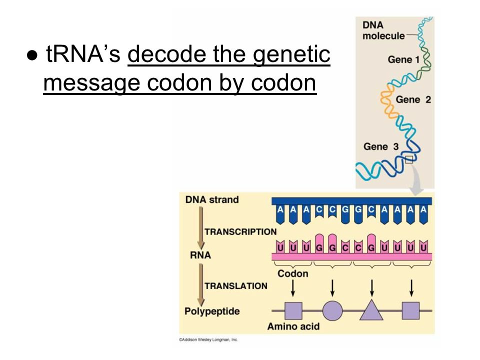 ● tRNA's decode the genetic message codon by codon