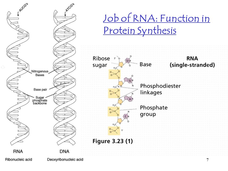 Job of RNA: Function in Protein Synthesis