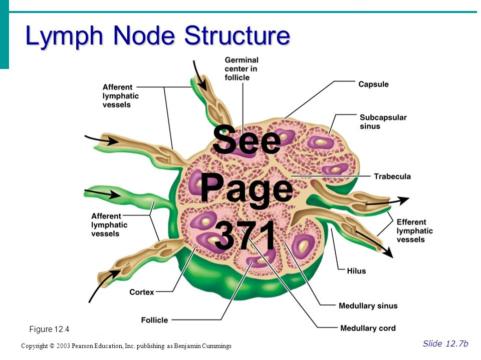 See Page 371 Lymph Node Structure Figure 12.4 Slide 12.7b