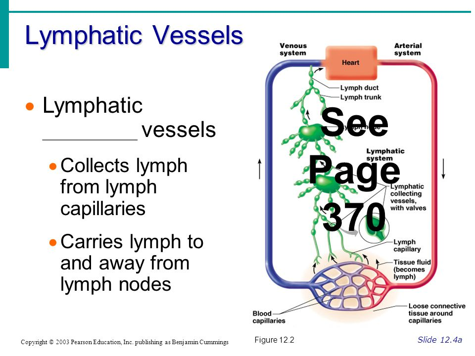 See Page 370 Lymphatic Vessels Lymphatic ____________ vessels