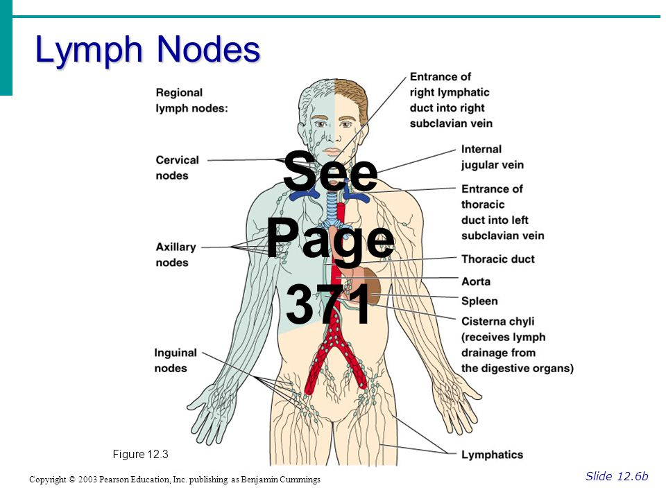 See Page 371 Lymph Nodes Figure 12.3 Slide 12.6b