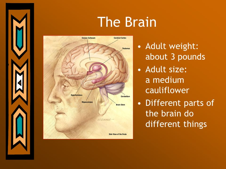 The Brain Adult weight: about 3 pounds
