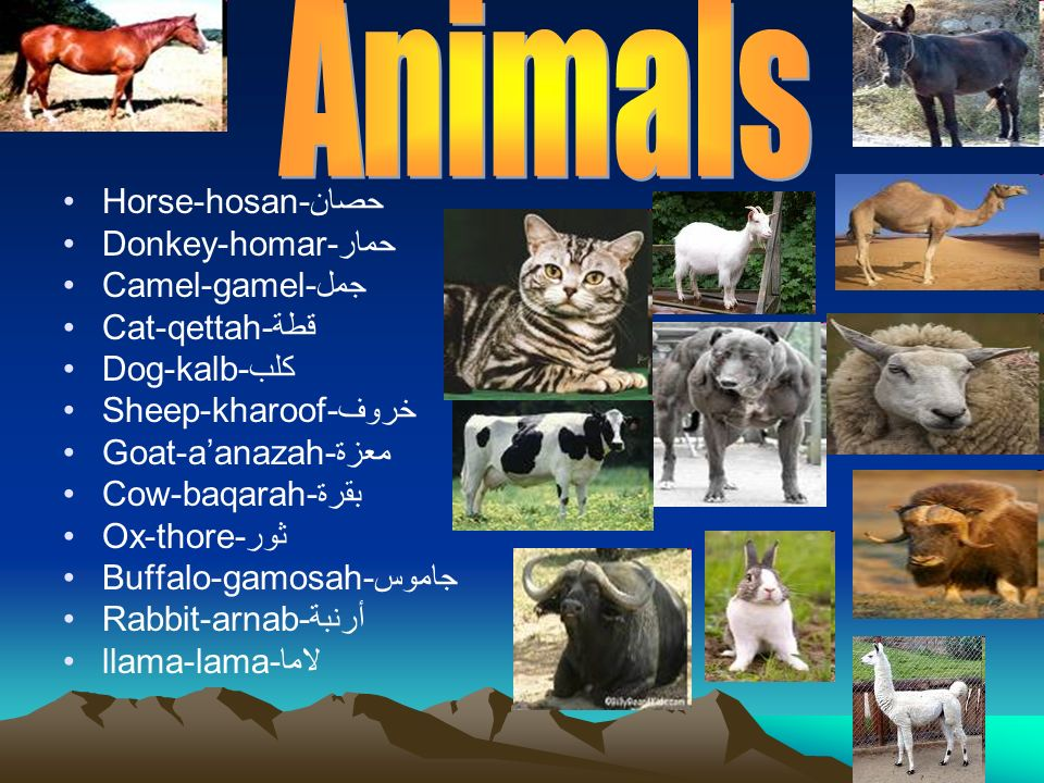 Animals Horse-hosan-حصان Donkey-homar-حمار Camel-gamel-جمل