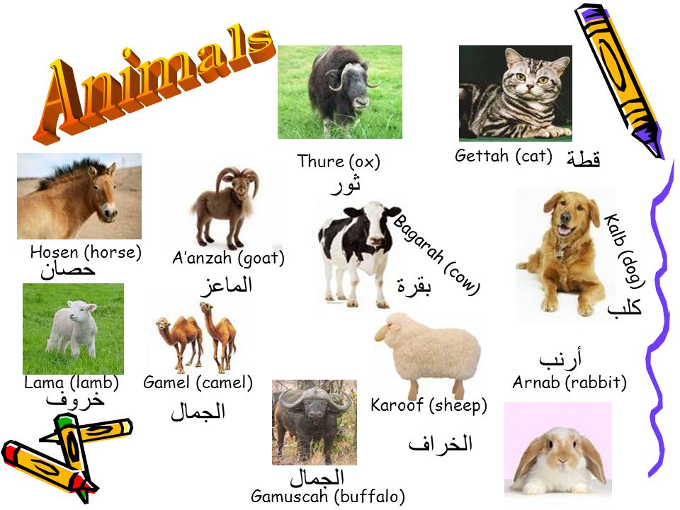 Animals قطة ثور حصان الماعز بقرة كلب أرنب خروف الجمال الخراف الجمال