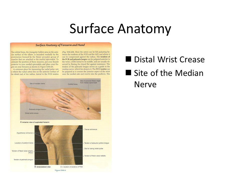 Surface anatomy wrist