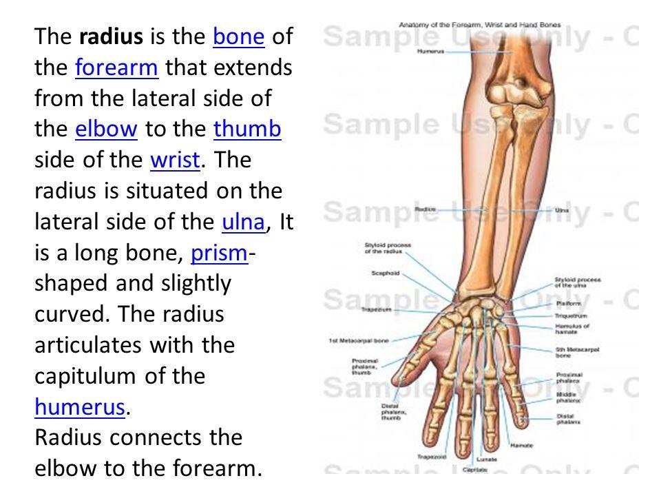 Outstanding Anatomy Of Radius And Ulna Gift - Human Anatomy Images ...