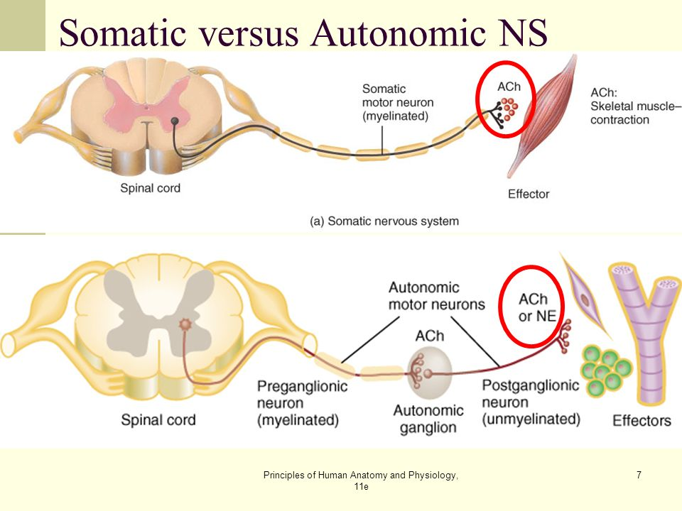 The Autonomic Nervous System Lecture Outline - ppt video ... | 960 x 720 jpeg 79kB
