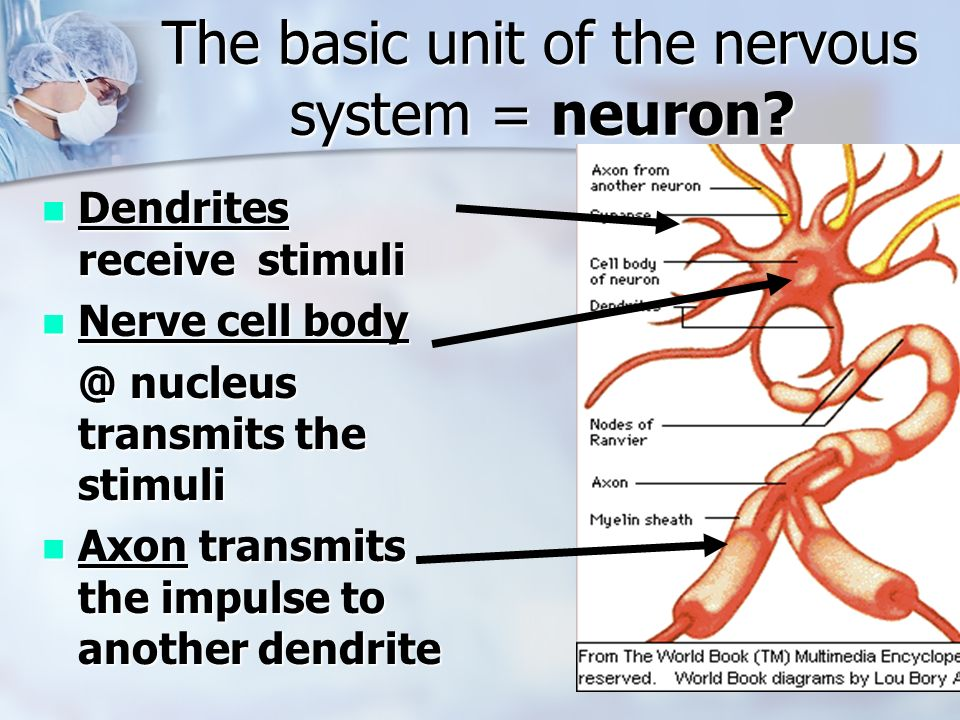 an analysis of the importance of neurons for the nervous system Stomatogastric nervous system of lobsters from the properties of its neurons and their circuit analysis the stns has important attributes that have.
