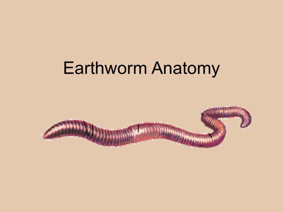 Anatomy of the earthworm