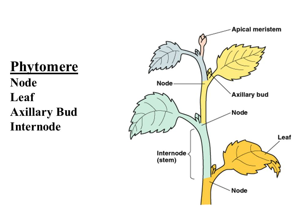 Young leaf shoot tip axillary bud node internode ppt for What are internodes