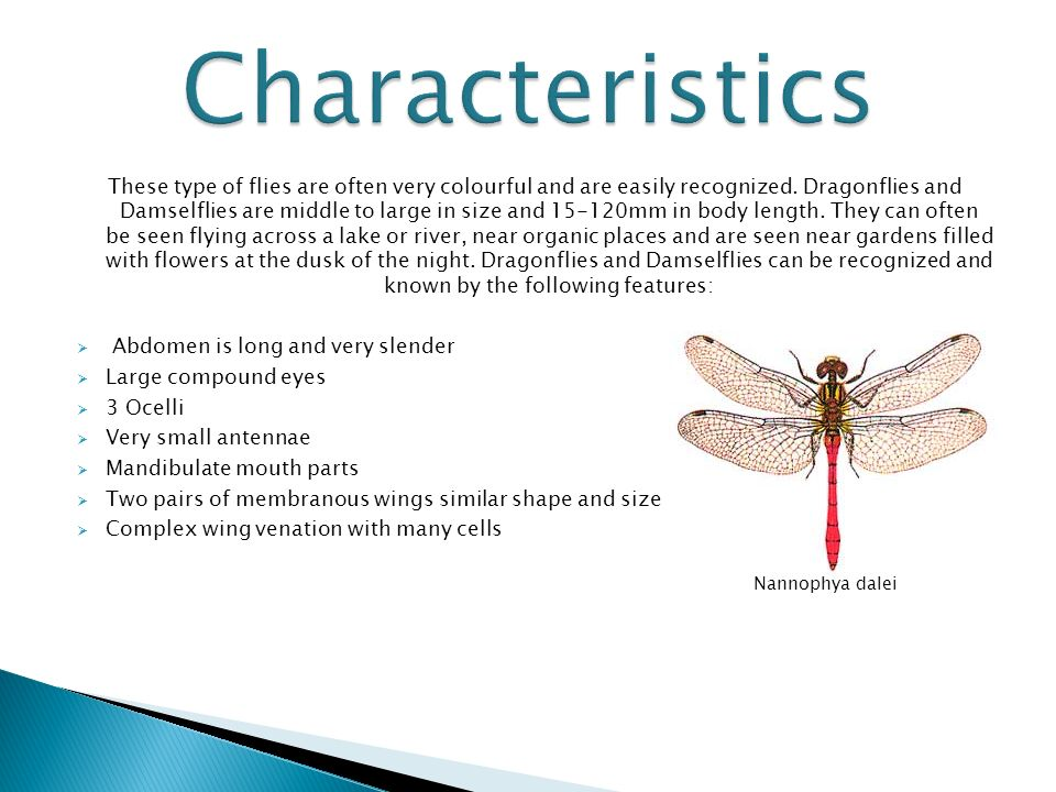 morphology of dragonflies Dragonflies and damselflies hunt and eat other insects what are the dietary habits of bedbugs what are the eating habits of dragonflies what does a dragonfly sound like what does dragonfly larvae eat and how does it get its food.