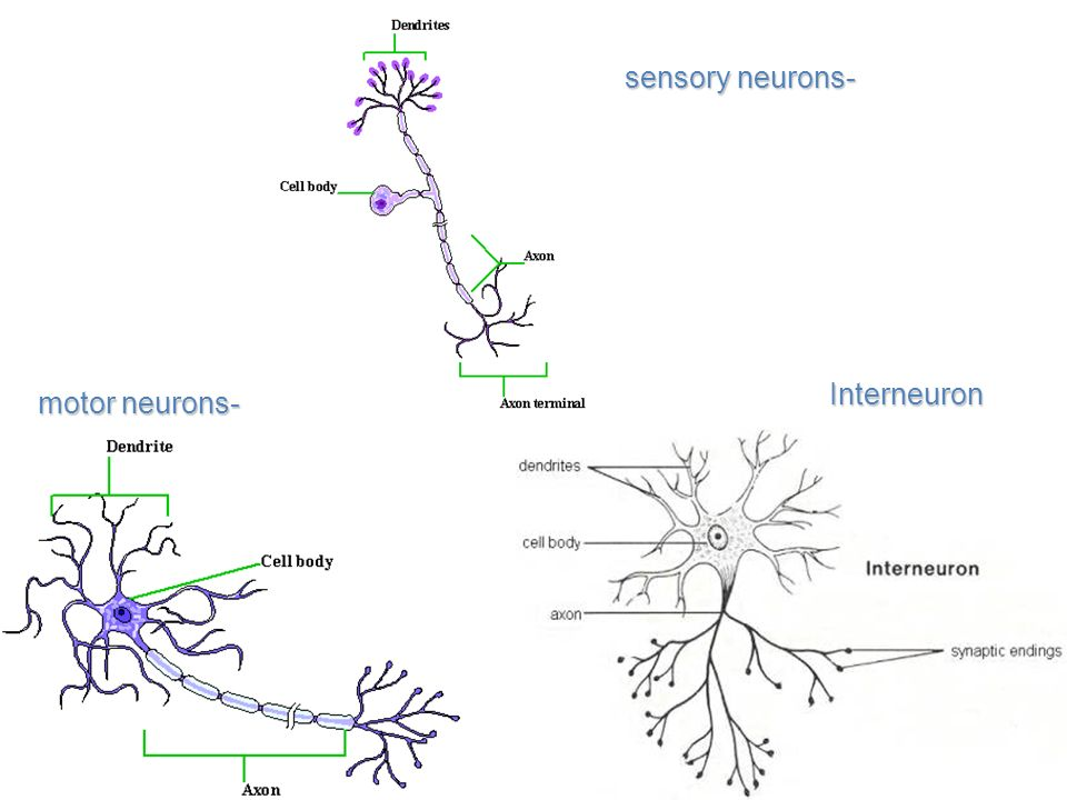 Sensory neuron structure the nervous system chapter ppt video online download ccuart Choice Image