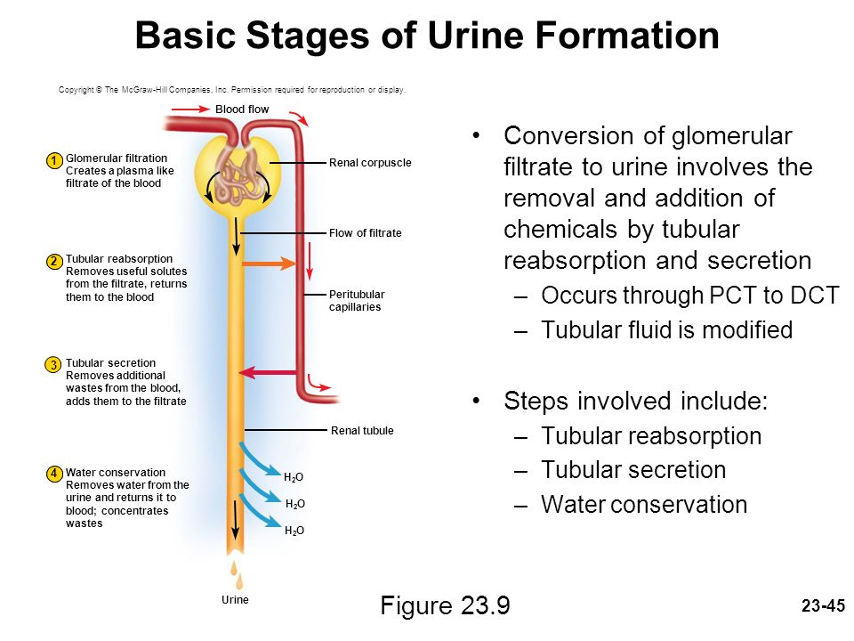 urine formation involves Mechanism of urine formation like the process of active reabsorption of ions, the process of secretion into the nephron also involves active transport of materials.
