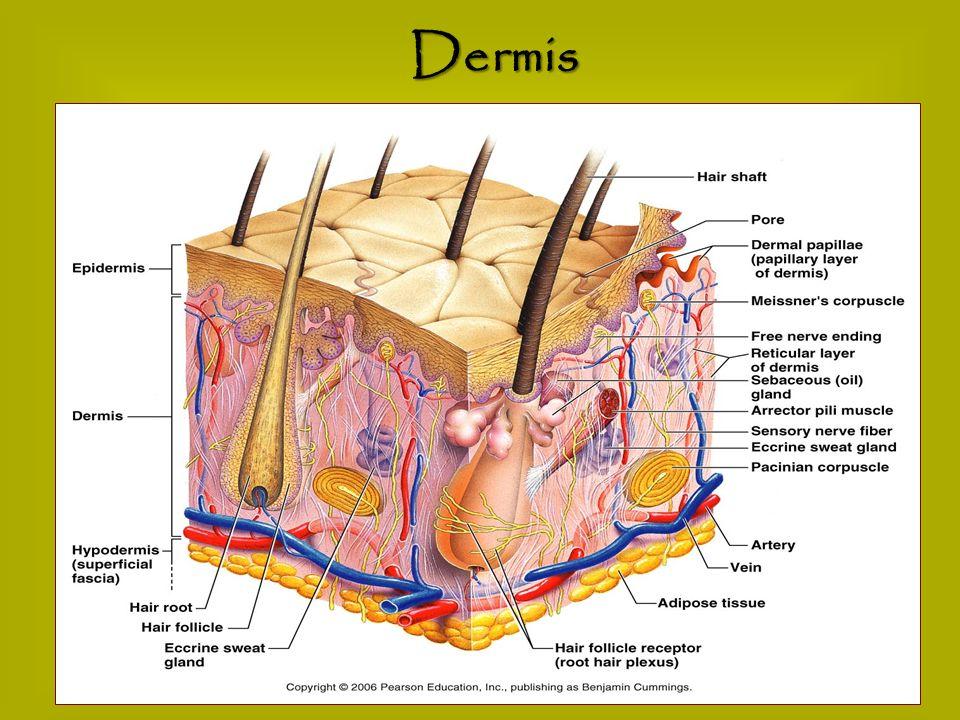 Integumentary System Epidermis Skin Color Amp Cancer Dermis