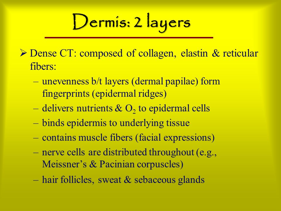 Dermis: 2 layers Dense CT: composed of collagen, elastin & reticular fibers: