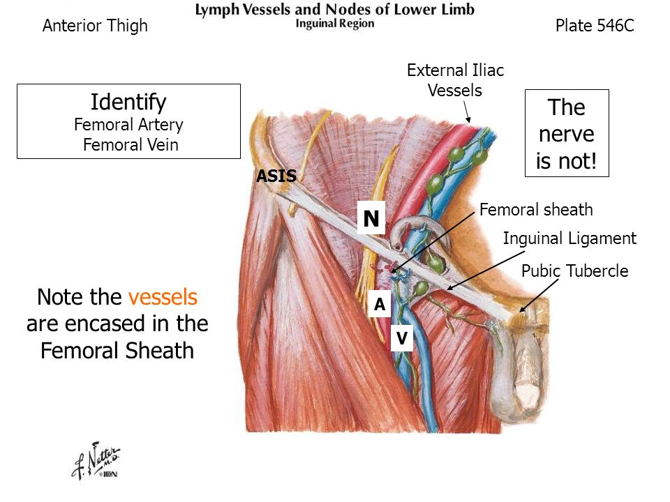 anterior and medial thigh (cadaver supine) - ppt download, Muscles