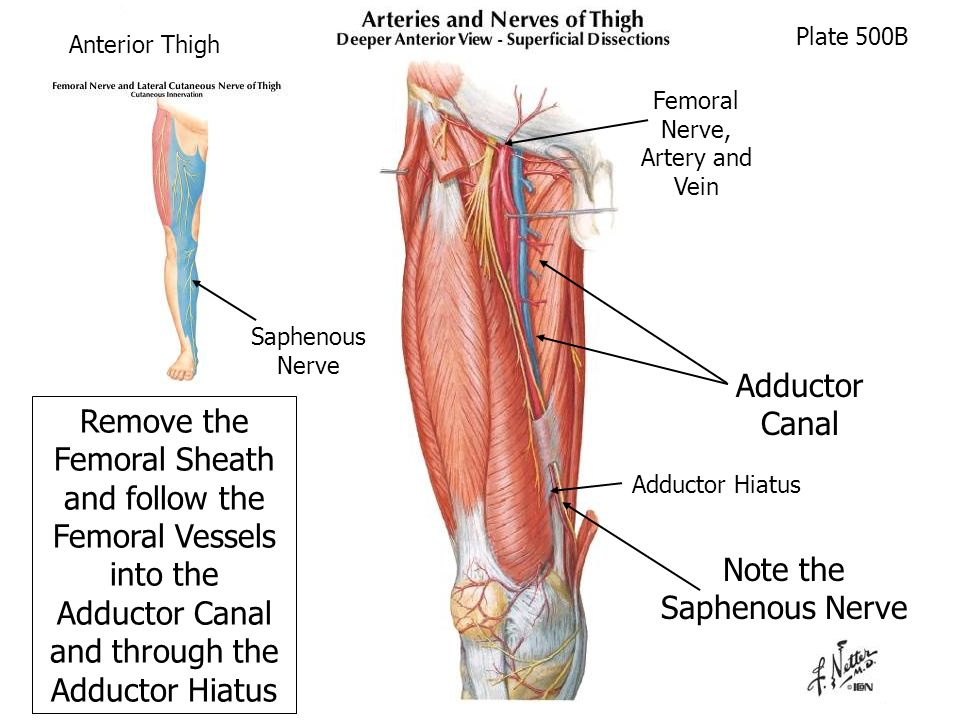 Anterior and Medial Thigh (Cadaver Supine) - ppt video ...