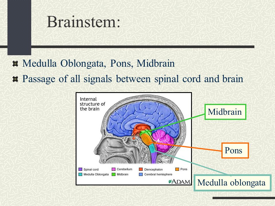 Skull, Brain and Cranial Nerves - ppt video online download Brainstem And Spinal Cord