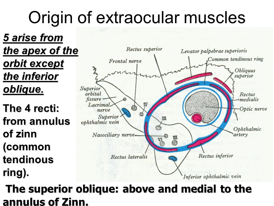 What Are Ring Muscles