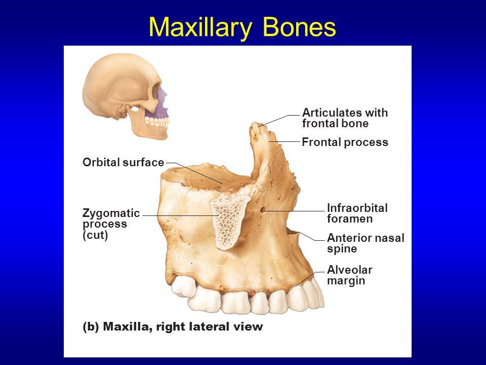 Skeletal Tissue & The Axial Skeleton - 64.1KB