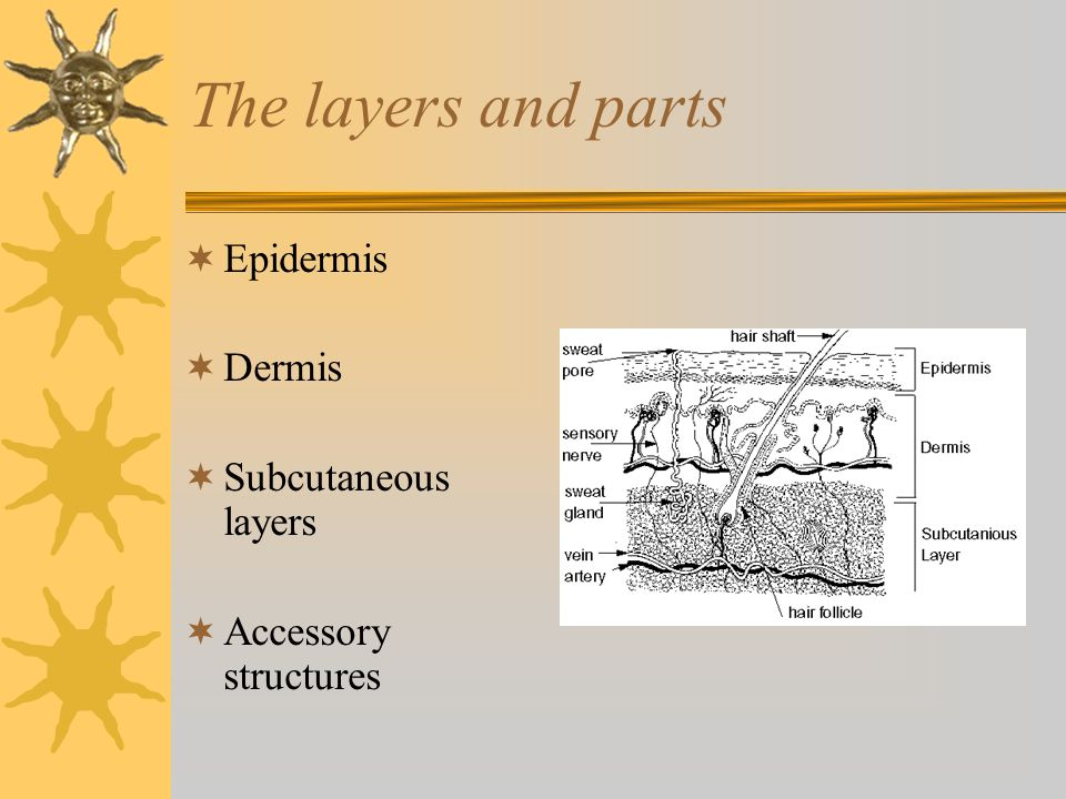 The layers and parts Epidermis Dermis Subcutaneous layers