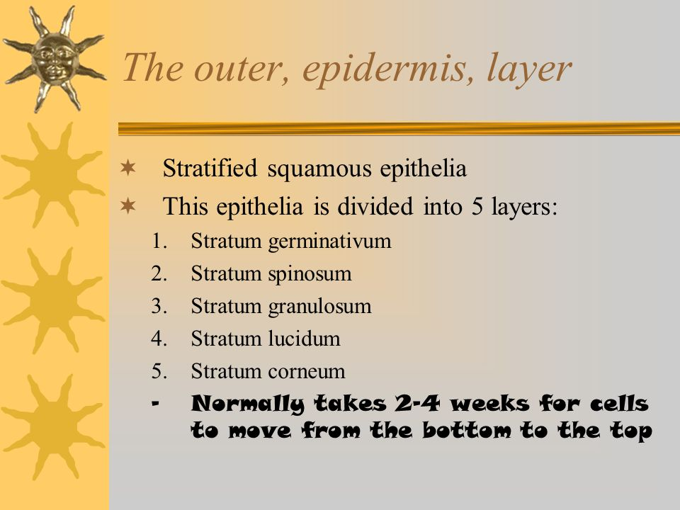 The outer, epidermis, layer