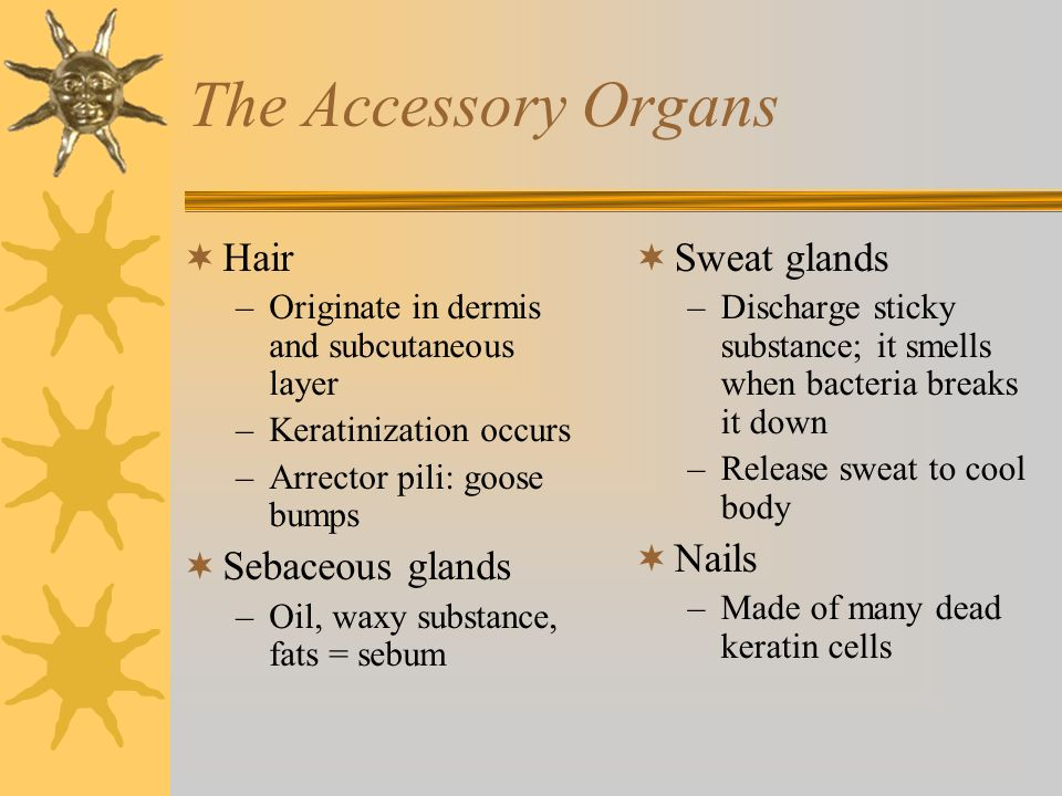 The Accessory Organs Hair Sebaceous glands Sweat glands Nails