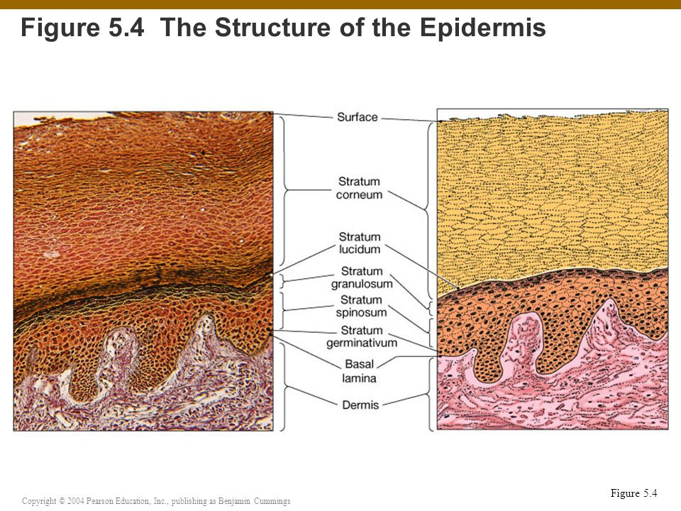 Figure 5.4 The Structure of the Epidermis
