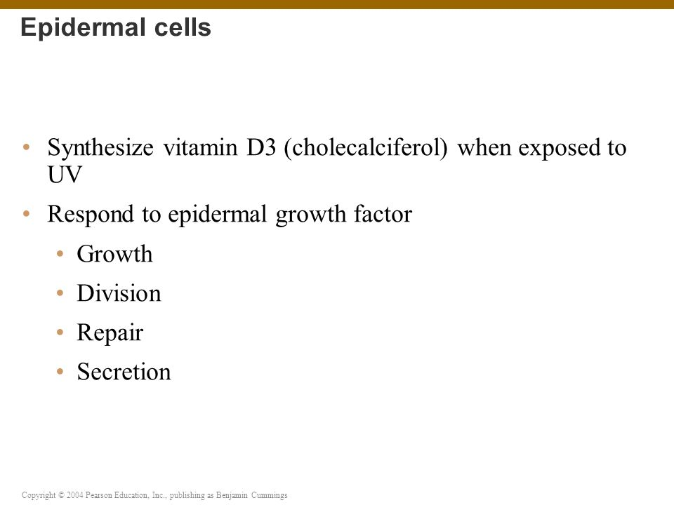 Epidermal cells Synthesize vitamin D3 (cholecalciferol) when exposed to UV. Respond to epidermal growth factor.