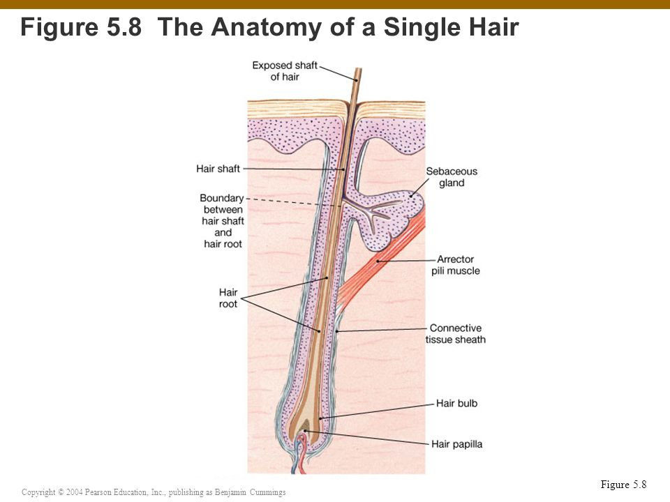 Figure 5.8 The Anatomy of a Single Hair
