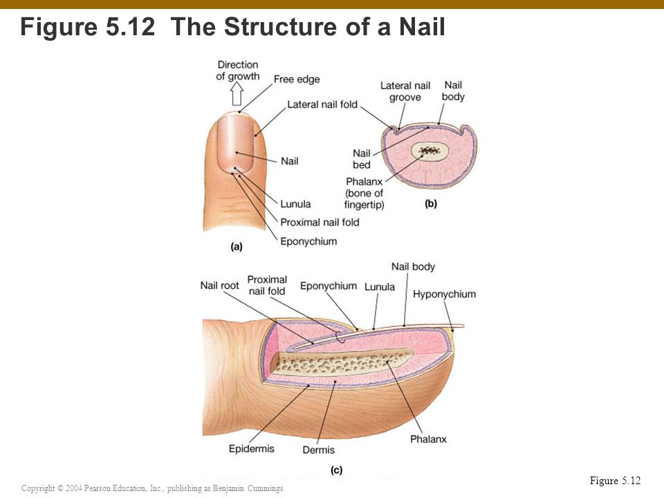 Figure 5.12 The Structure of a Nail