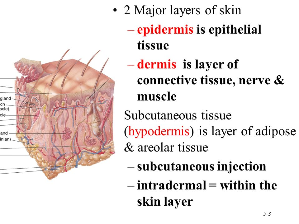 layers of epithelial tissue Epithelial tissues that cover or line surfaces are classified by cell shape and by  the number of cell layers the following terms are used to describe these features .