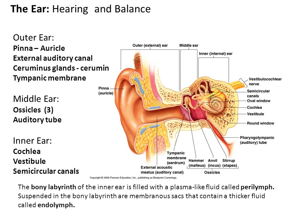 Fein The Anatomy And Physiology Of The Ear And Hearing Ideen ...