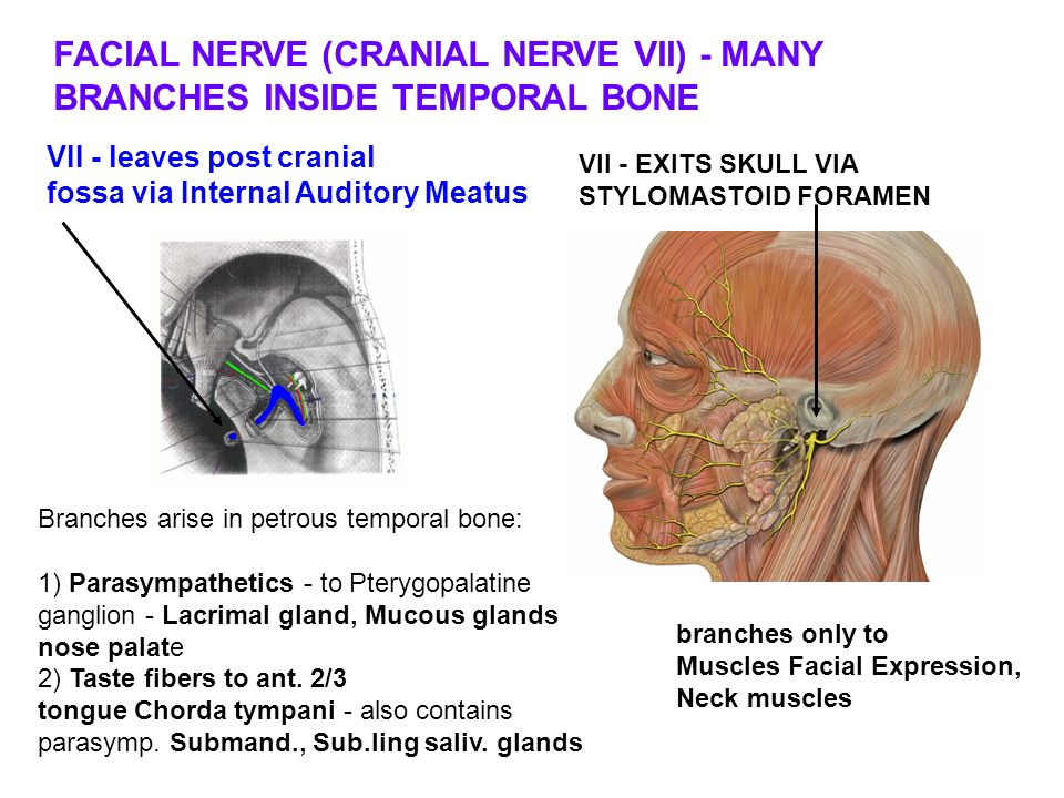 Review of facial nerve | College paper Academic Writing Service ...