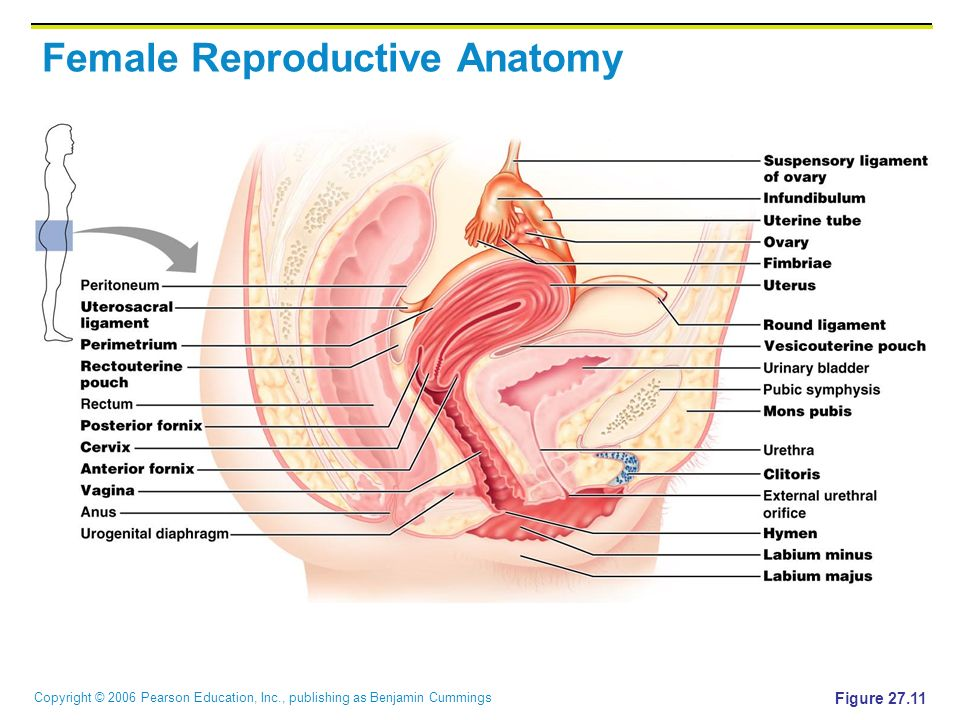 Contemporary Anatomy Of Female Genital Organs Motif - Anatomy And ...