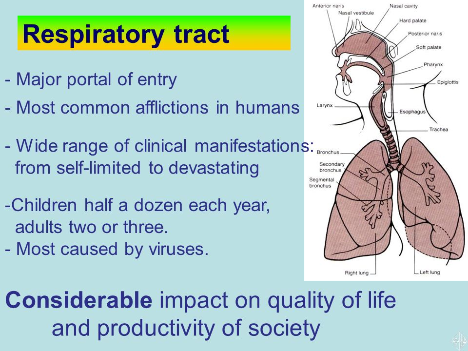 Viral infections of the respiratory tract ppt download - Portal entree ownership ...