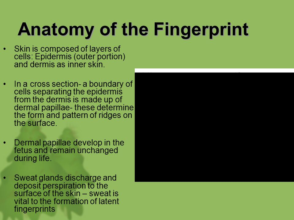 fingerprints anatomy History of fingerprinting  this is the start of the history of fingerprints  in 1686, marcello malpighi, an anatomy professor at the.
