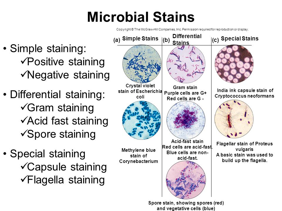 differential staining This differential staining procedure separates most bacteria into two groups on the basis of cell wall composition: gram positive bacteria (thick layer of peptidoglycan-90% of cell wall )- stains purple.