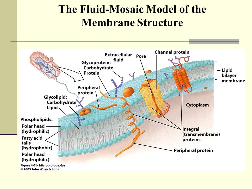 the fluid mosaic model of membrane structure Fluid mosaic model the modern view of membrane structure, known as the fluid mosaic model, was developed in 1972 by s j singer and g l nicholson and.