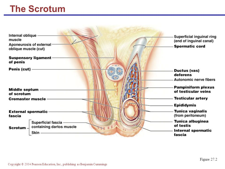 Outstanding Penile Vascular Anatomy Ensign - Anatomy And Physiology ...