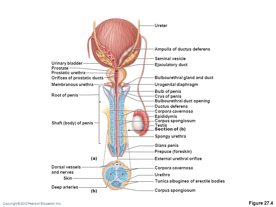 the reproductive system - ppt video online download, Human Body