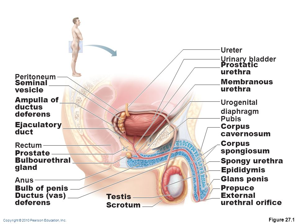 relationship of ureter and ductus deferens