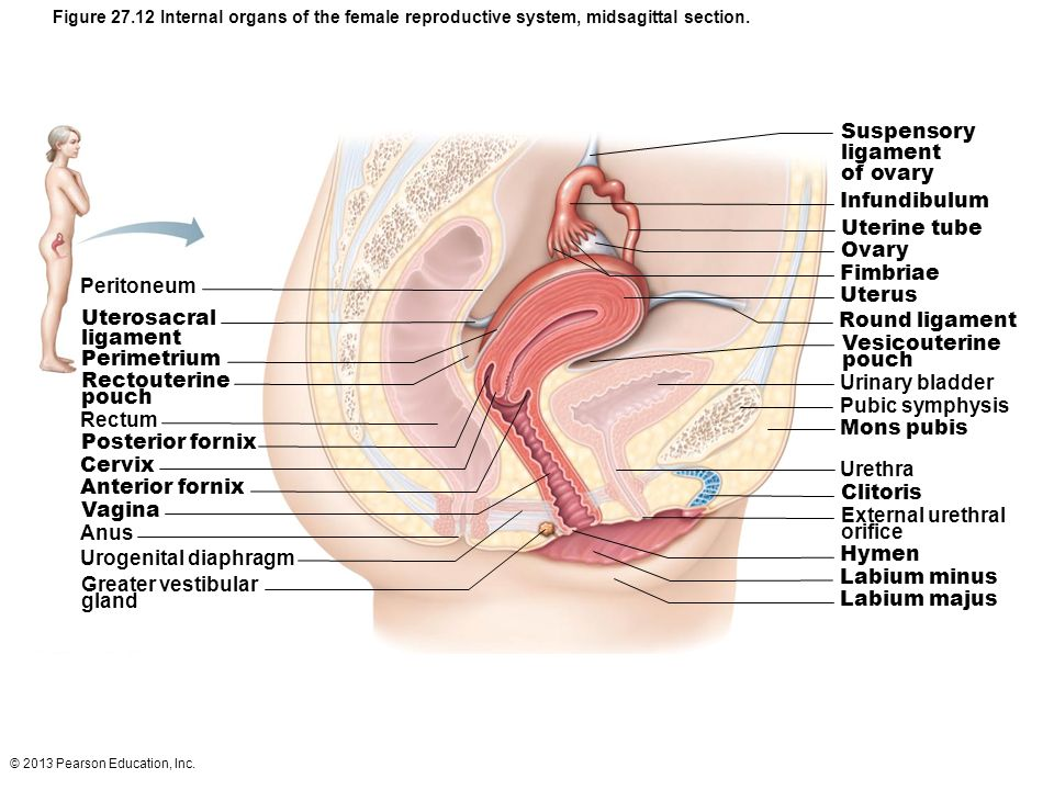 Female Reproductive System Diagram External View Hymen 32276 Loadtve
