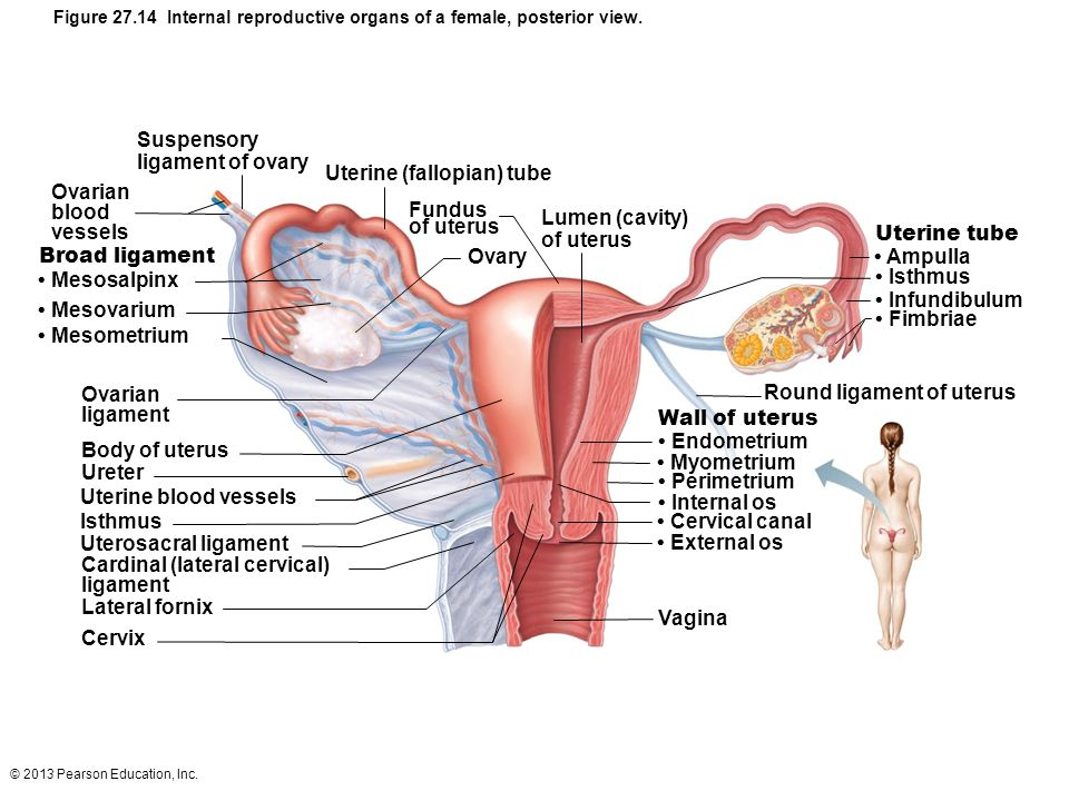 [female internal reproductive organs in] the female ...