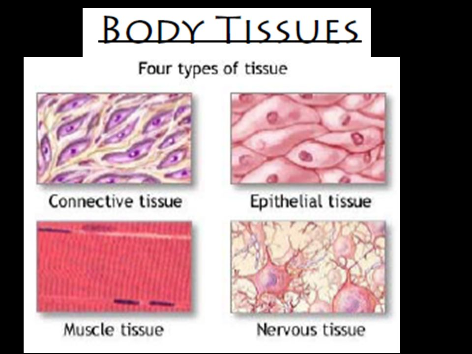 the main body tissues Basic tissue types all of the various tissues of the human body can be categorized into four basic tissue types all organs are built of these four tissues.
