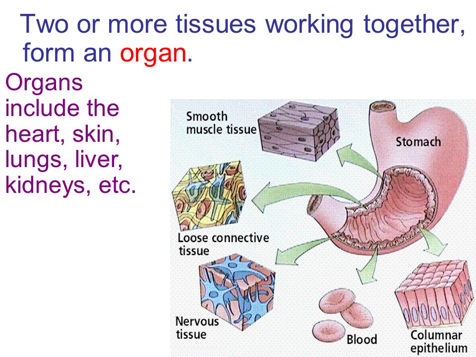 Two or more tissues working together, form an organ.